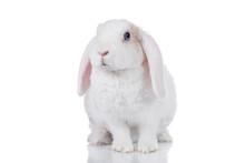 Mini Lop Eared Rex Rabbit Isol...