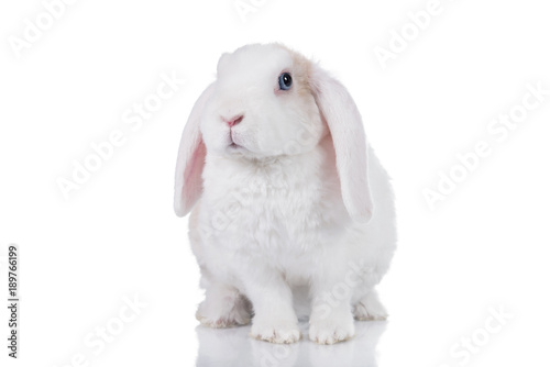 Photo  Mini lop eared rex rabbit isolated on white