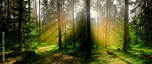 Fototapeten Wald jesień w iglastym lesie