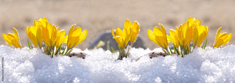 Fototapety, obrazy: Crocuses yellow grow in the garden under the snow on a spring sunny day. Panorama with beautiful primroses on a brilliant sparkling background.