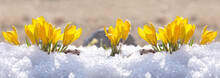Crocuses Yellow Grow In The Garden Under The Snow On A Spring Sunny Day. Panorama With Beautiful Primroses On A Brilliant Sparkling Background.