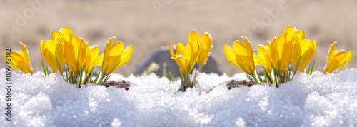 Poster Spring Crocuses yellow grow in the garden under the snow on a spring sunny day. Panorama with beautiful primroses on a brilliant sparkling background.