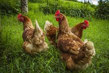 Free Range Chickens Gathering ...