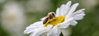 canvas print picture - Biene auf Margeritenblüte als Banner
