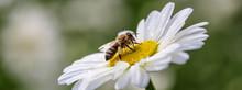 Biene Auf Margeritenblüte Als Banner