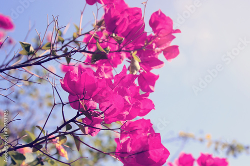 Dreamy image of blooming bougainvillea flowers.