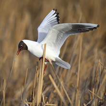 Single Laughing Gull In Flight...