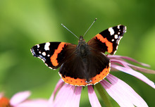Single Red Admiral Butterfly On A Colorful Garden Flower During A Spring Period