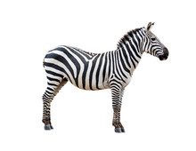 Profile Grevys Zebra Isolated ...