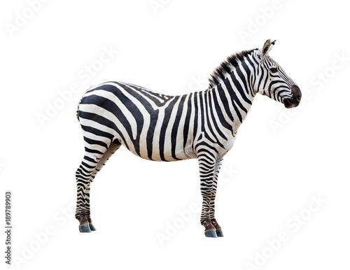 In de dag Zebra Profile Grevys Zebra Isolated on White