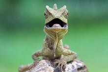 Lizard, Forest Dragon
