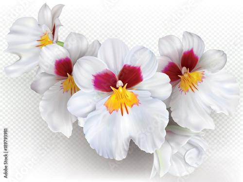 kwiaty-miltoniopsis-herralexander
