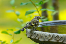 Pine Siskin Perched On The Edg...