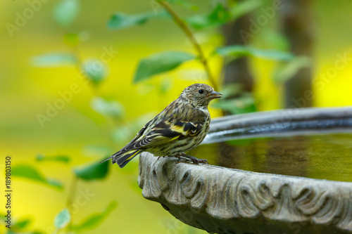 Pine Siskin perched on the edge of a birdbath after drinking water from it Wallpaper Mural