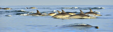 Dolphins, Swimming In The Ocea...