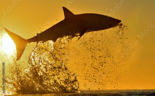 Silhouette of jumping Great White Shark on sunrise red sky
