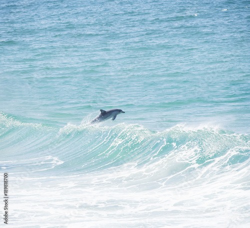 Dolphin jumping over wave