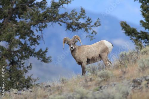 Fotografía  Bighorn Ram Yellowstone NP USA