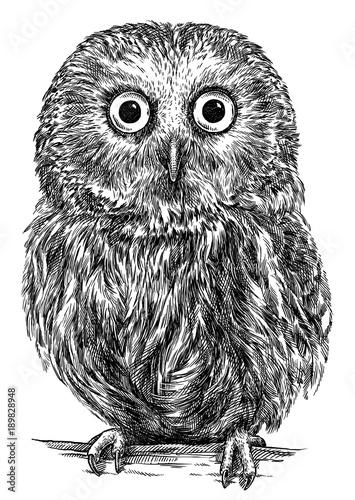 Fototapeta Sowa rysowana ołówkiem