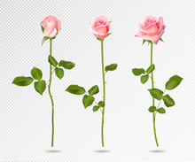 Realistic Vector Pink Rose Set...