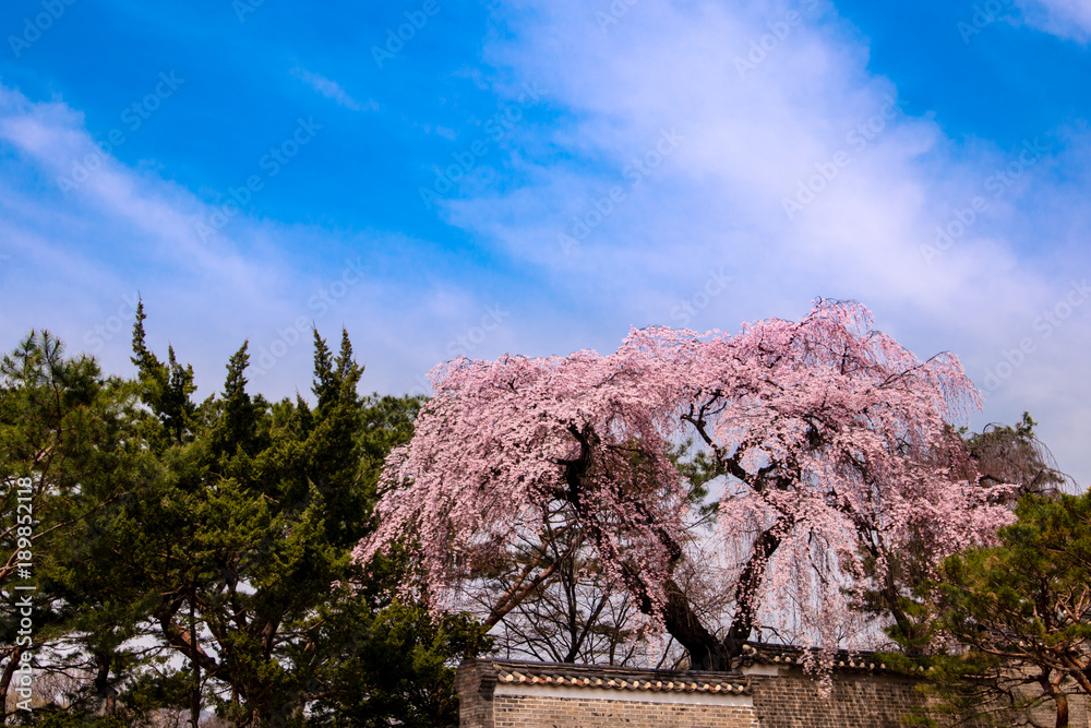 Changdeokgung Palace With Beautiful Spring Flowers Seoul South