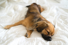 Cute Dog Sleeping In Bed