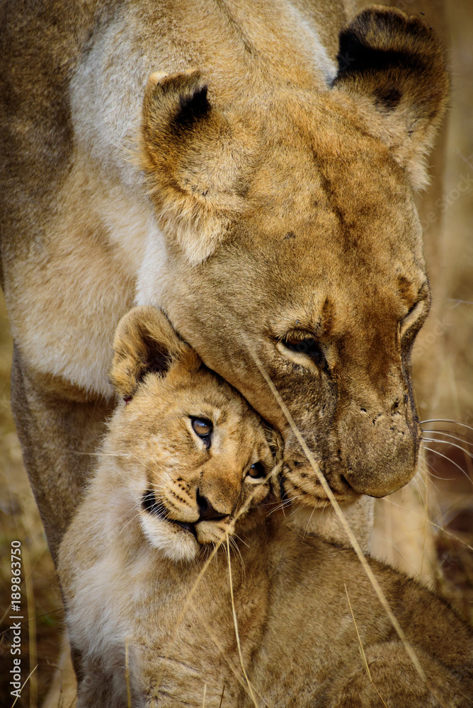 Fototapeta Mother and Child Lions of Madikwe
