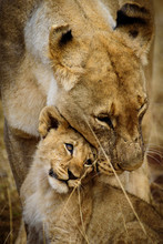 Mother And Child Lions Of Madi...