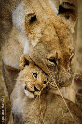 Mother and Child Lions of Madikwe Canvas Print