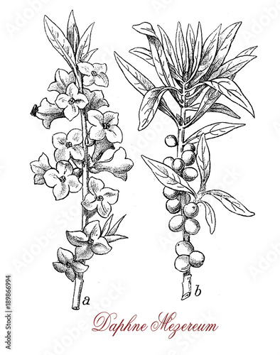 Fotografia Vintage engraving of Daphne mezereum or February daphne, ornamental shrub cultivated in garden with scented flowers and poisonous berries