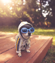 Cute Chihuahua Sitting On A Deck Outside Wearing Goggles And A Jacket On Warm Summer Day Toned With A Retro Vintage Filter