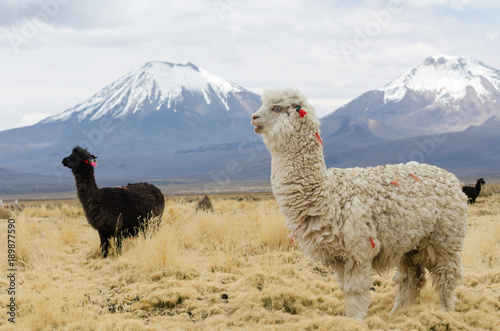 Photo  Llamas against volcanos