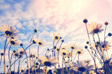Summer Landscape With Daisies On  Background Of Beautiful Sunset Sky