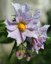 The Pretty Pale Purple Flowers Of The Potato Plant, Solanum Tuberosum.