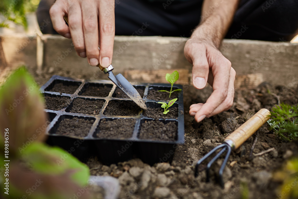 Fototapety, obrazy: Young farmer working in his garden getting ready for summer season. Man tenderly planting green sprout with garden tools in his countryside house.