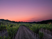 Sunset On Vineyard In The South Of The France