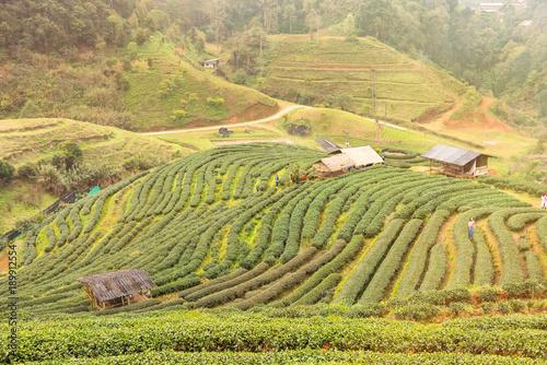 Printed kitchen splashbacks Khaki Landscape View at Tea Plantation 2000 in the morning on a foggy day.Thailand.