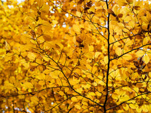 Beautiful Yellow Leaves On A Branch In An Autumn Day