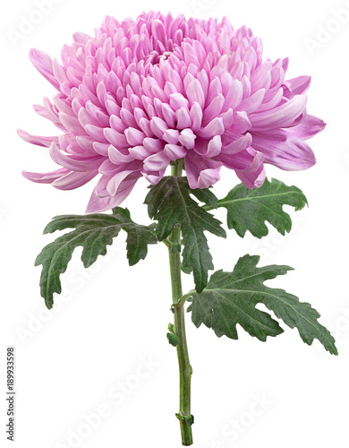 Purple chrysanthemum flower head Wallpaper Mural