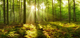 Fototapeta Las - Forest of Beech Trees illuminated by sunbeams through fog, ferns covering the ground