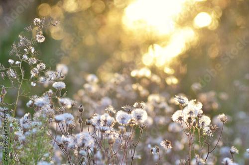 Fototapety, obrazy: Beautifull Sunset With Dandelions