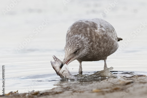 Spoed Foto op Canvas Natuur Immature Herring Gull trying to swallow a dead Spotted Snake Eel