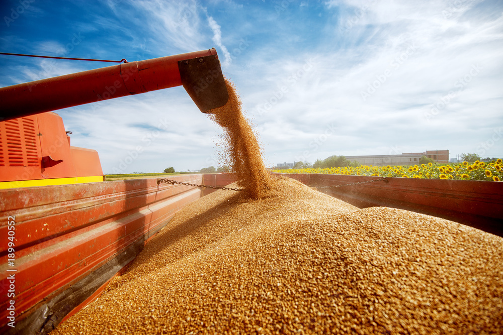 Fototapety, obrazy: Photo of a filling a big red trailer with wheat corns out of combine harvester in a sunflower field on a beautiful day.