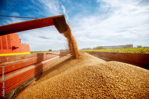 Fotografia Photo of a filling a big red trailer with wheat corns out of combine harvester in a sunflower field on a beautiful day