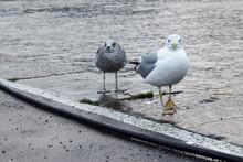 Gulls Walking In The Docks
