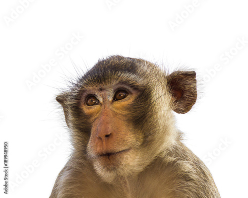 In de dag Macaque monkey isolated on white