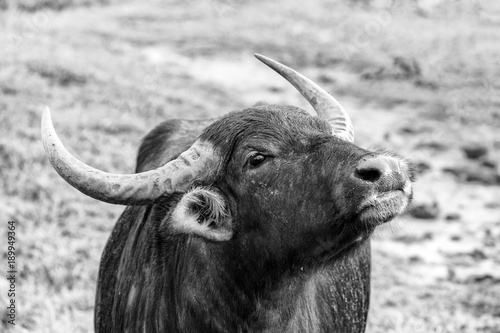 Staande foto Buffel Asian water buffalo in Yala Nationalpark, Sri Lanka (monochrome)