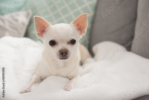 Fototapeta white chihuahua cute pet happy smile sitting on seat sofa furniture in home livi