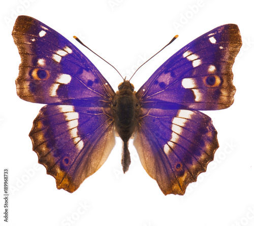 Purple emperor butterfly isolated