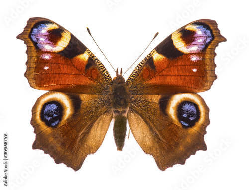 European peacocok butterfly